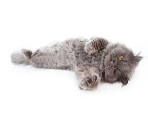 Бизнес на персидских котах