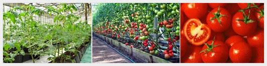 процесс выращивания помидоров в теплице