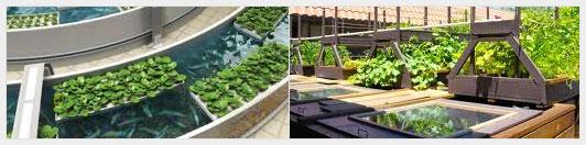 Аквапоника - еще одна технология сельскохозяйственного бизнеса