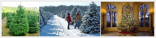 Как арендовать живую елку на Новый год, не навредив дереву?