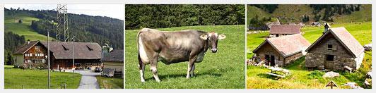 Как заработать, сдавая корову в аренду?