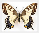 Бизнес на разведении тропических бабочек
