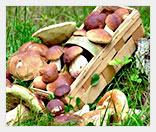 Лесные грибы как бизнес