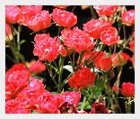 viraschivanie-roz-v-teplice