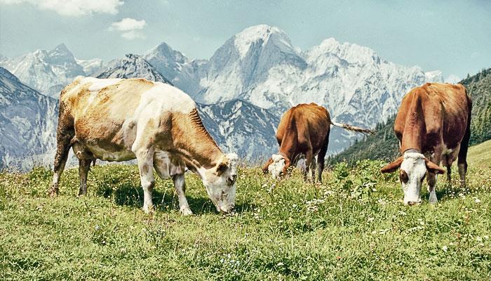 Прокат коров как бизнес